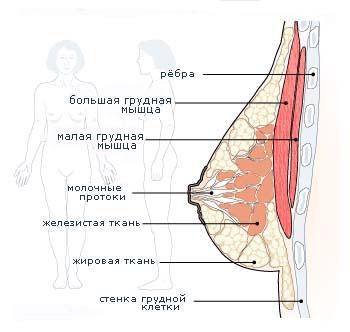 Женская грудь - сложнорганизованный орган, построенных так, чтобы обеспечивать оптимальные условия для выполнения св ... - Изображение 1