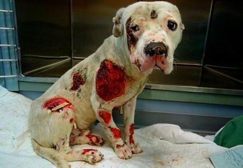 Эта собака пострадала от своих же хозяев, которые в нетрезвом состоянии,привязав бедняжку к своему автомобилю, ездил .... - Изображение 1