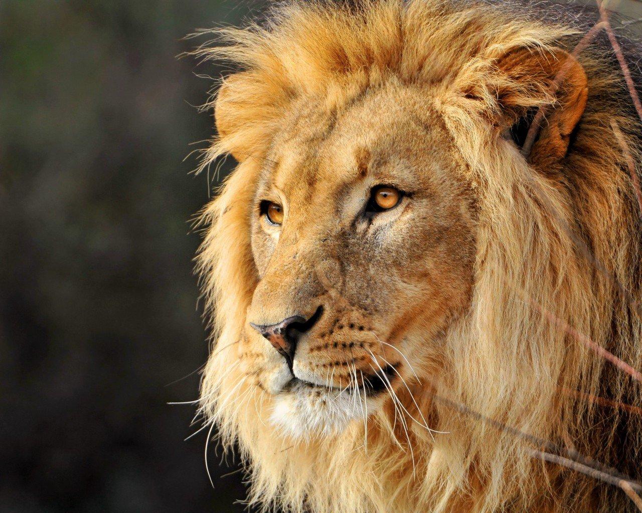 Львы крутые - Изображение 1