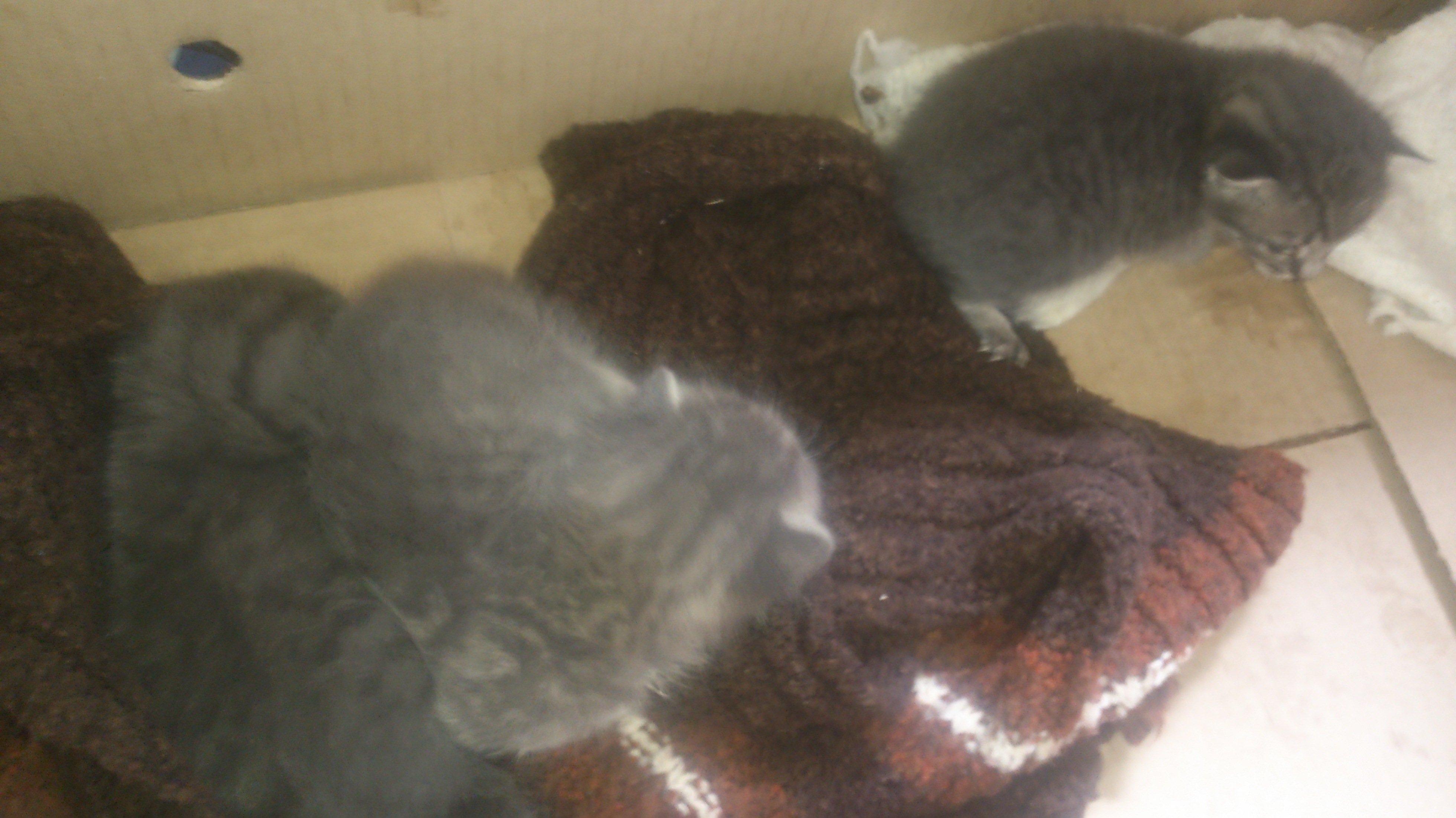 Отдам двух котят, тому кто проживает в ближнем подмосковье на востоке. Котята очень маленькие, едят с пипетки, но вс ... - Изображение 3