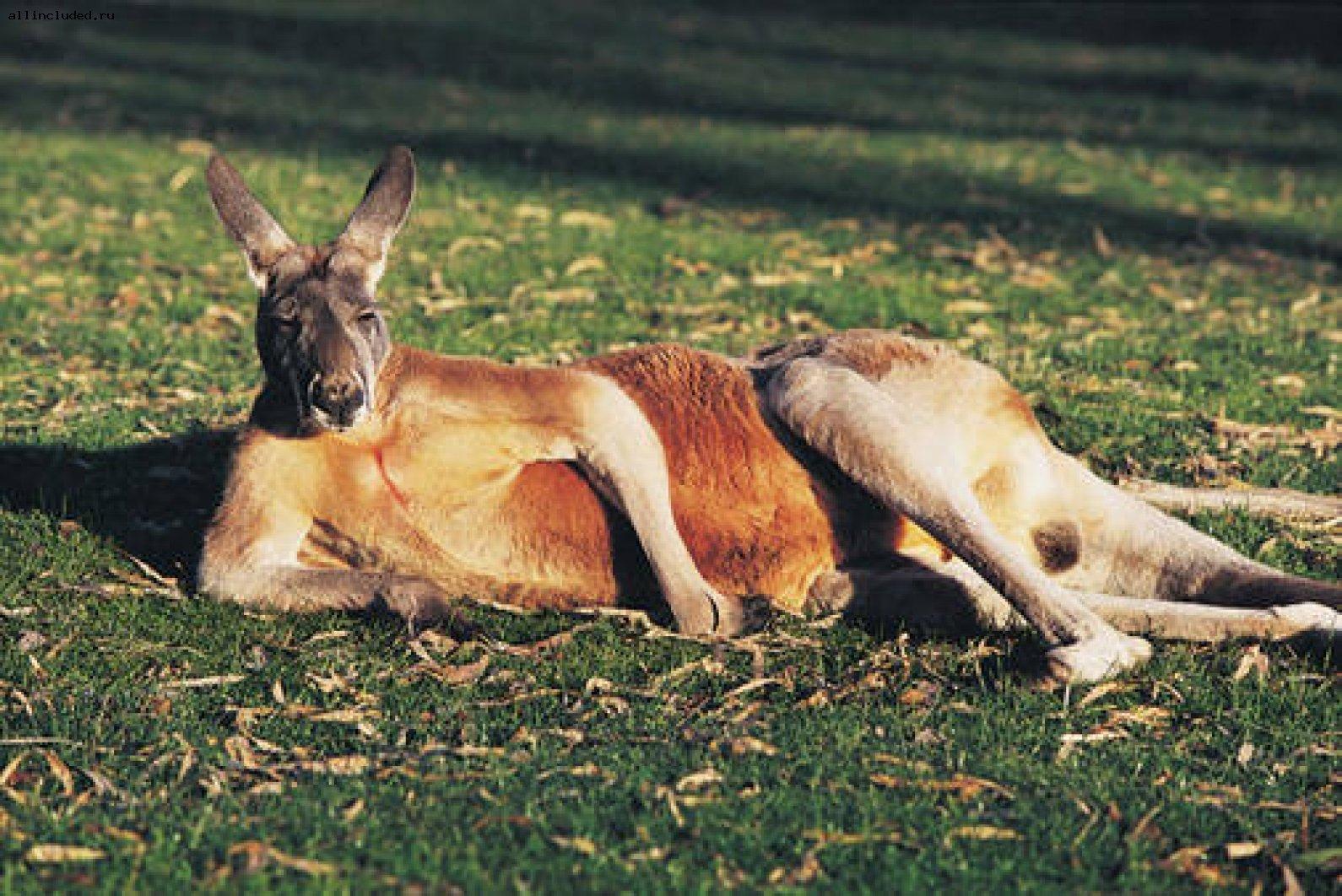 Вступайте в клуб любителей кенгуру! - Изображение 1