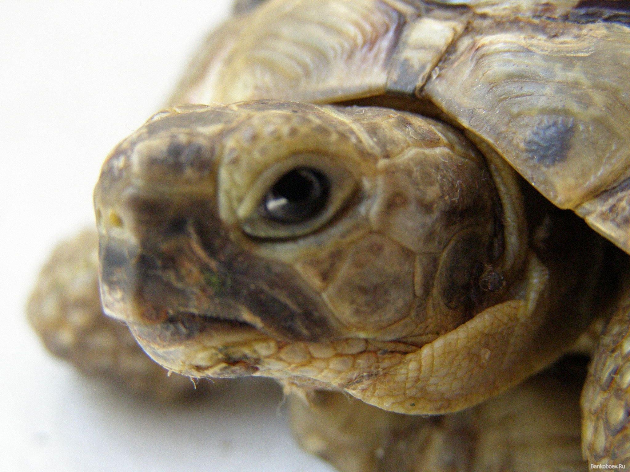 Решил стать хозяином и другом этого замечательного животного. Совсем скоро в мой дом зайдёт среднеазиатская черепаха ... - Изображение 1