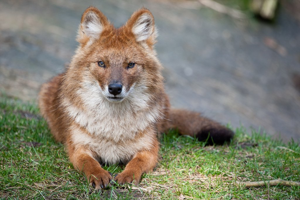 Красный волк относится к виду псовых и родом он из Южной и Юго-Восточной Азии. Он ближе к диким собакам, живет стаям ... - Изображение 1