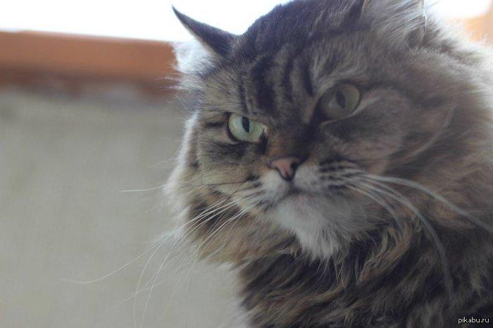 #Пикабу--Народ, мне кажется, или этот кот очень похож на капитана Прайса? :D - Изображение 1