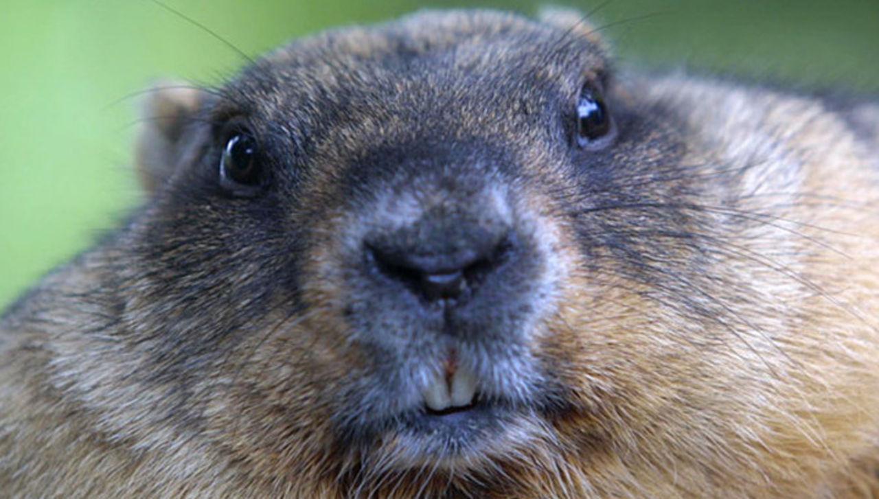 Защитники животных предлагают заменить сурка предсказателя погоды наробота сИИ