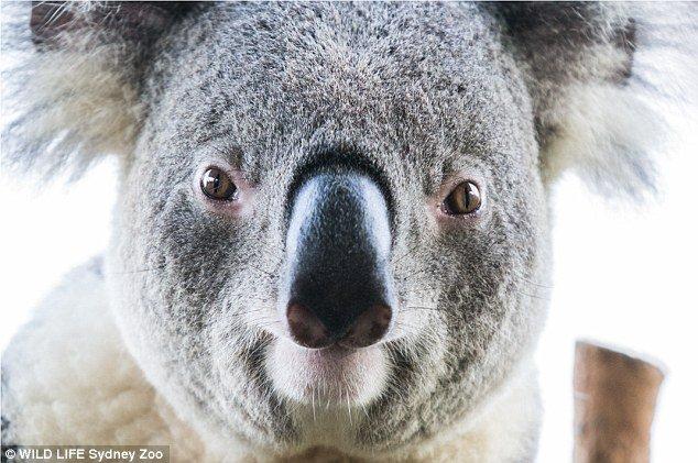 Селфи милых коал . - Изображение 4