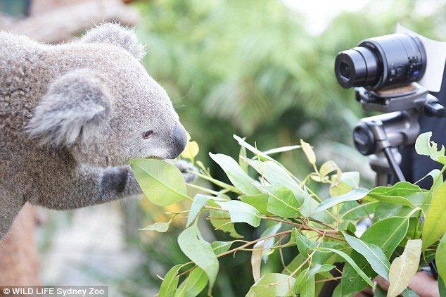 Селфи милых коал . - Изображение 2