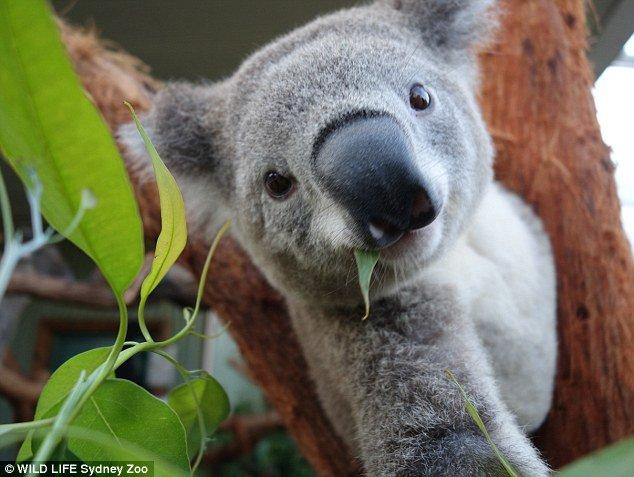 Селфи милых коал . - Изображение 3