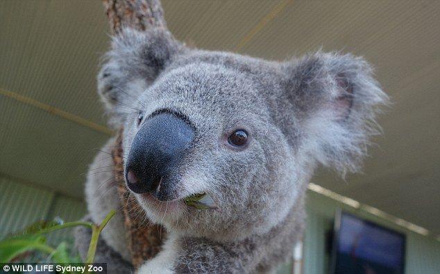 Селфи милых коал . - Изображение 5