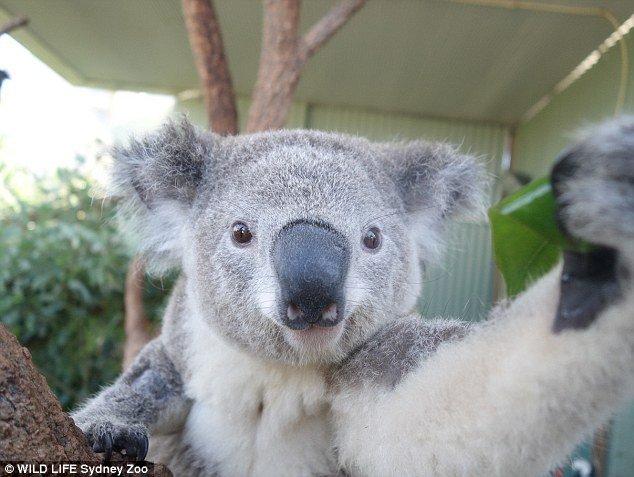 Селфи милых коал . - Изображение 1
