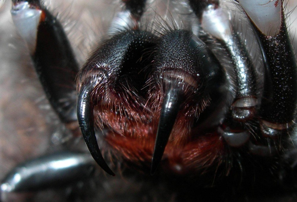 Яд паука как альтернатива виагре.. - Изображение 1