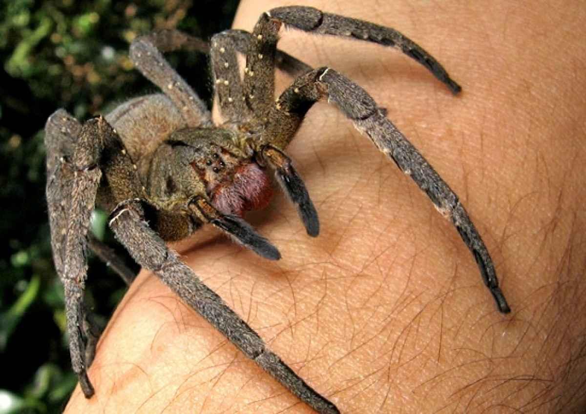 Яд паука как альтернатива виагре.. - Изображение 2