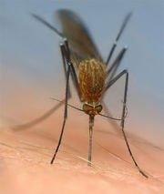 Я убил комара - жестоко. Он сидел на стене, пачкал обои и думал как же меня убить.  Я его заметил. НА столе лежала в .... - Изображение 1